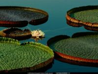 Nat Geo Lily Pads