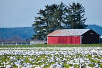 Snow geese,  Skagit valley , Washington