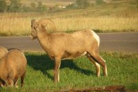 Desert Bighorn Sheep In Badlands National Park
