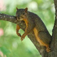 Fox-Squirrel-Relaxing