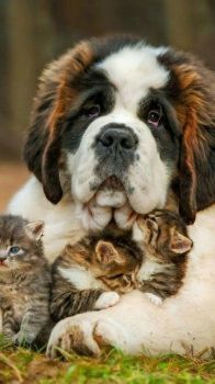 St. Bernard with Kittens