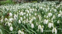A bank of Snowdrops