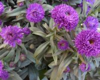 Chryzantémy ve fialové...  Chrysanthemums in purple ...