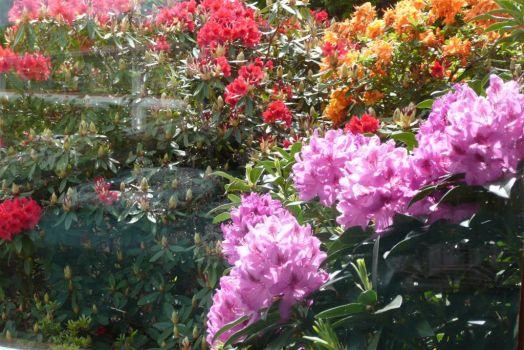 Spring Rhodies & Azaleas 2014