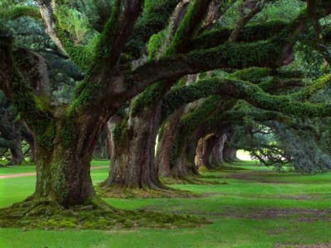 A very old tree grove - photog unknown