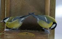 great tits, dining together