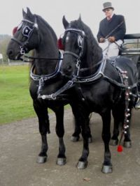 Friesians on Parade