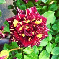 'Abracadabra' Hybrid Tea Rose