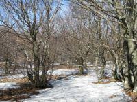 Hribovske bukve in sneg