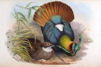 Old scientific prints of birds