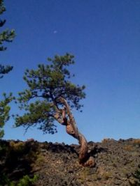 Lone Tree in lava