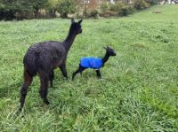 Alpacas: London's daughter Onyx, and HER daughter Morena.