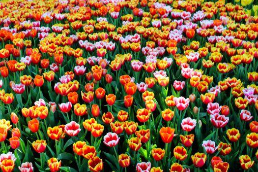 Pexels - close up of tulips