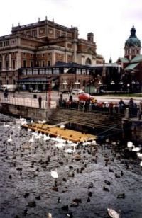 The swans and ducks know where there is free food in Stockholm, Sweden.