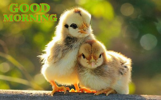 Good-Morning-With-Sweet-Chicks