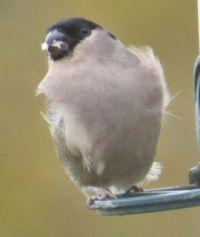Female Bullfinch on a windy day
