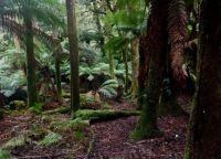 Amongst the Manferns: Mt Field National Park 9 June 2021