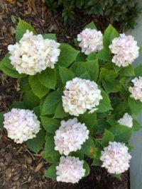My White Hydrangea