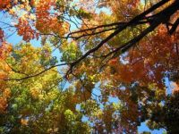 Fall trees looking up