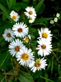 Asters are everywhere