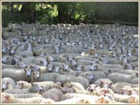 We're full of sheep . . . .
