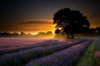 purple field sunset