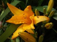 Beautiful Orange Day Lilly