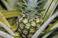 Baby Pineapple