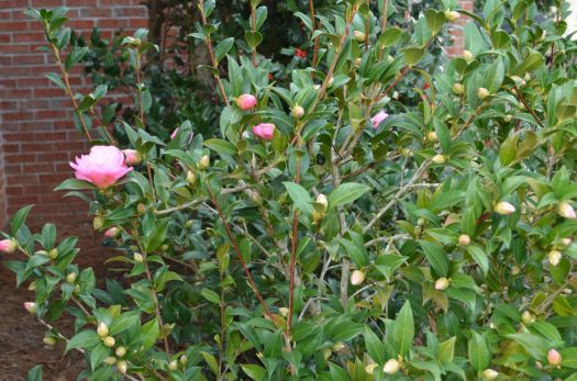 Camelia bush is loaded with buds.