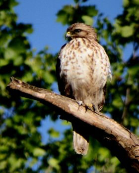 Recently fledged Red-shouldered Hawk