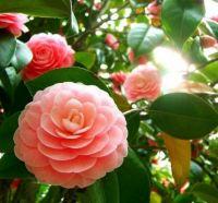 Camellia 2