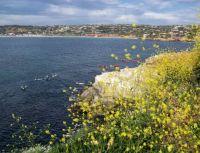 La Jolla - Mustard Flowers & Kayaks
