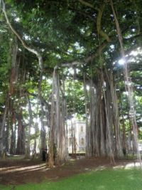 Funny trees in Hawaii