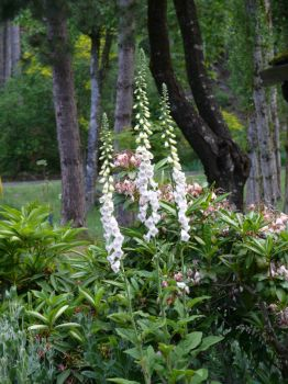 Digitalis gone wild