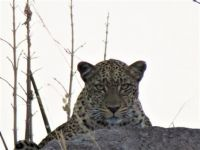leopard - aug 2016 - tanzania