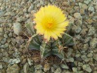 Cactus - Astrophytum Ornatum