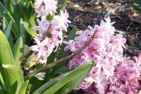 Spring Hyacinth-Pink
