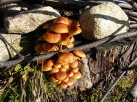mushrooms_Flammulina velutipes