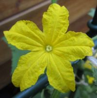 Bloom on home sown cucumber plant....close up.