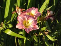 Pretty Pink Daylilly from my garden