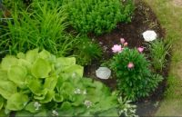Peonies in bloom among herbs and hostas