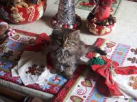 My Christmas Kittens - Mimi