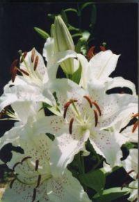 Kyoto Oriental Lily