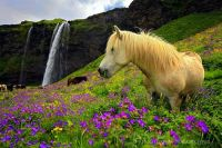 Pony in Pretty Flower Field