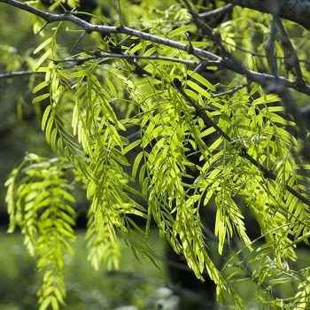 Mesquite Leaves Challenge