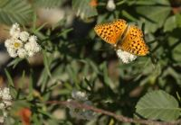 Butterfly (Arctic or Pearl-bordered Fritillary?) on a Trail near Mt. Rainier, early September 2021