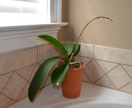 Orchid has new growth with buds.