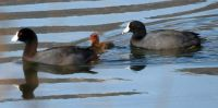 American Coot Family, Lake Hodges, San Diego, California