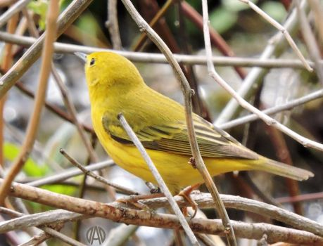 Another surprise visitor: Yellow Warbler