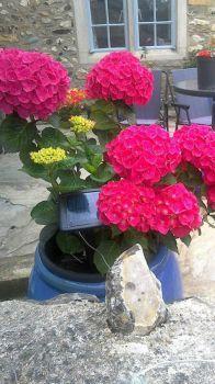 Deep pink hydrangeas,